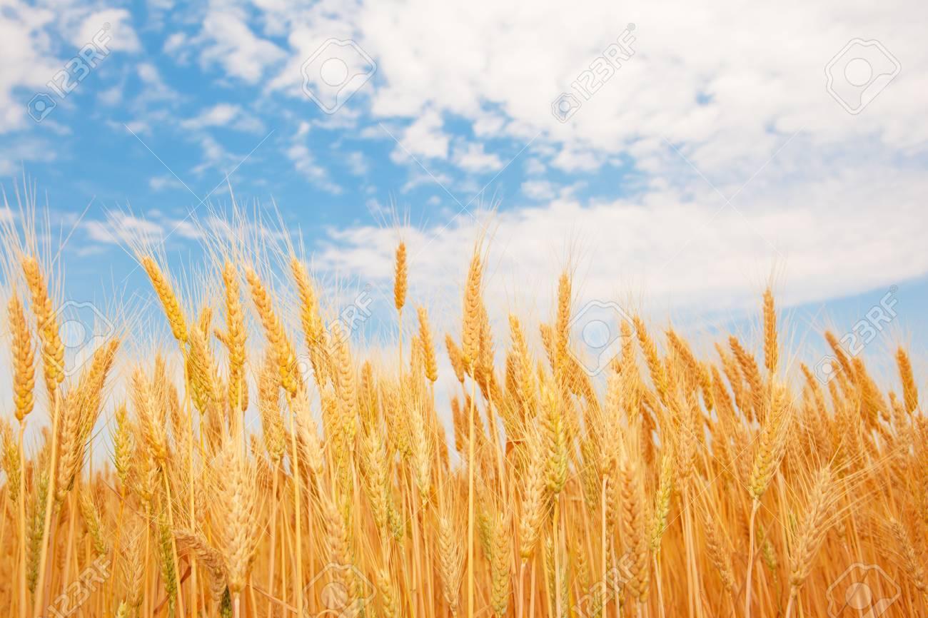 Golden wheat ears under the blue sky Stock Photo - 5116741