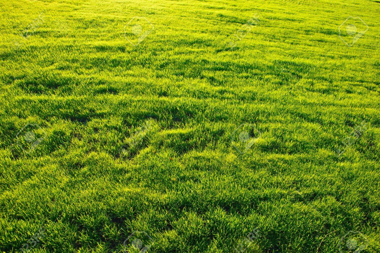 grass field texture. Green Grass On Soccer Field Texture Stock Photo - 5499233 X