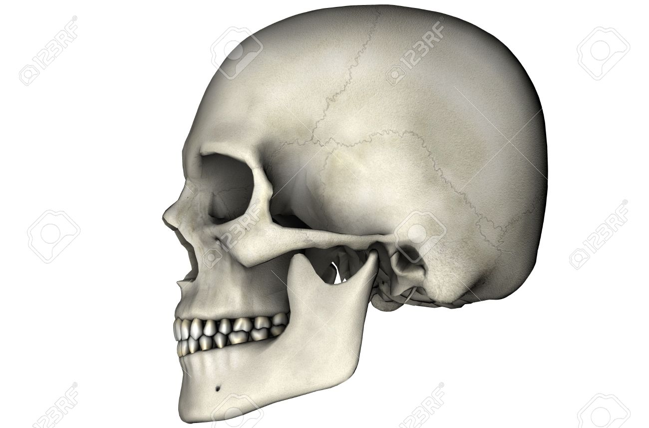 Human Skull Lateral Anatomical View 3d Graphic On White Background