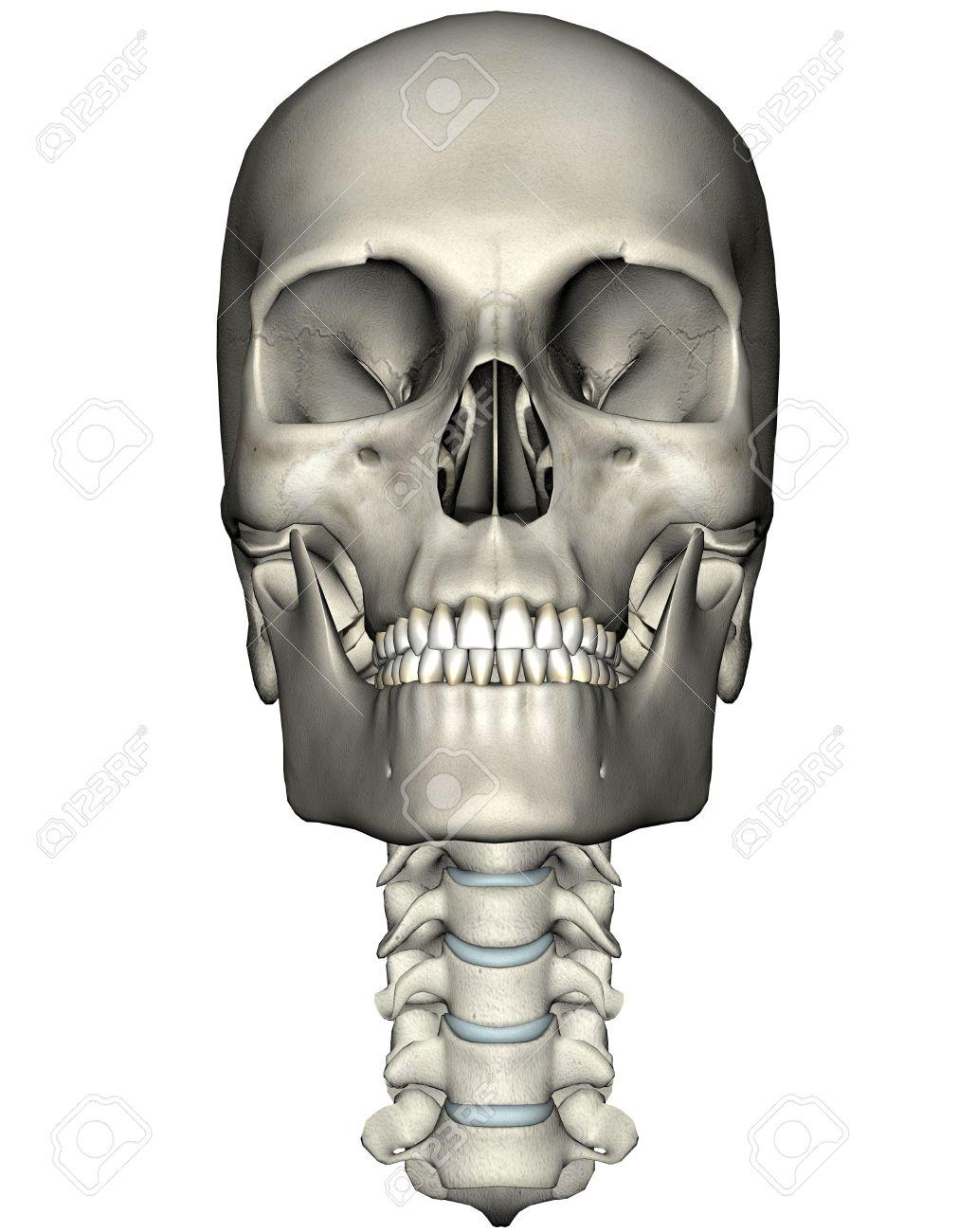 Humanos Cráneo Y La Columna Cervical (cuello) Anterior Ilustración ...