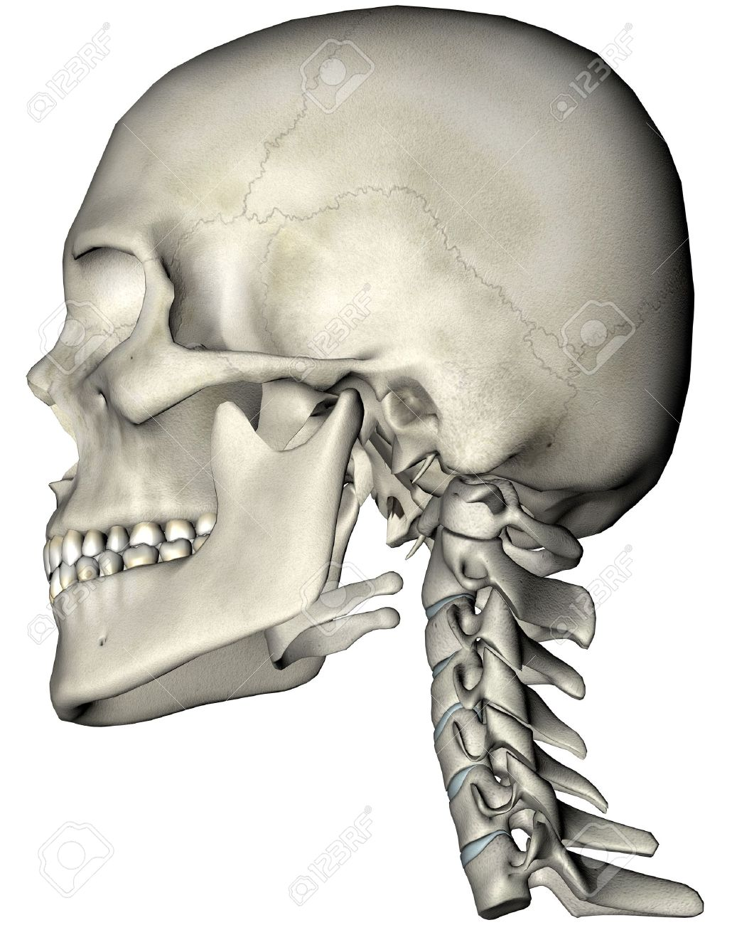 Human Skull And Cervical Spine Neck Lateral Anatomical 3d