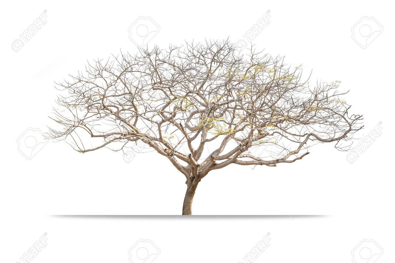 Giant Leafless tree isolated on white background - 56836403