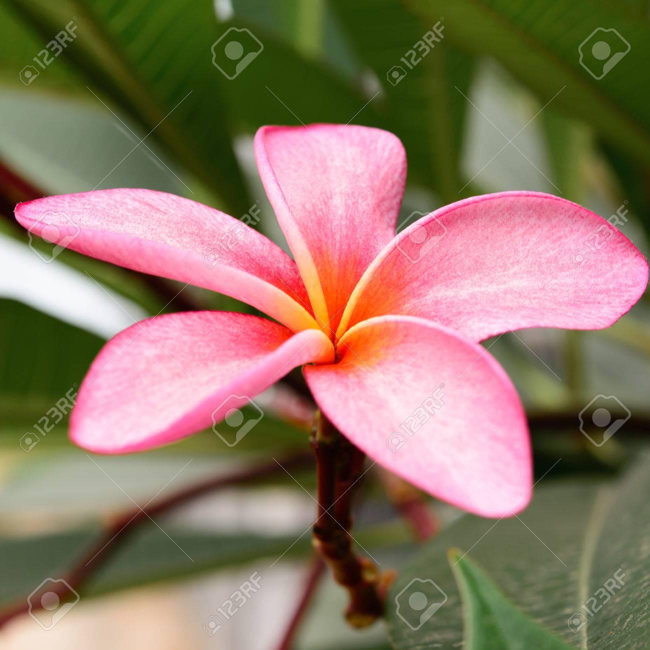 Branch Of Tropical Pink Flowers Frangipani Plumeria On Dark