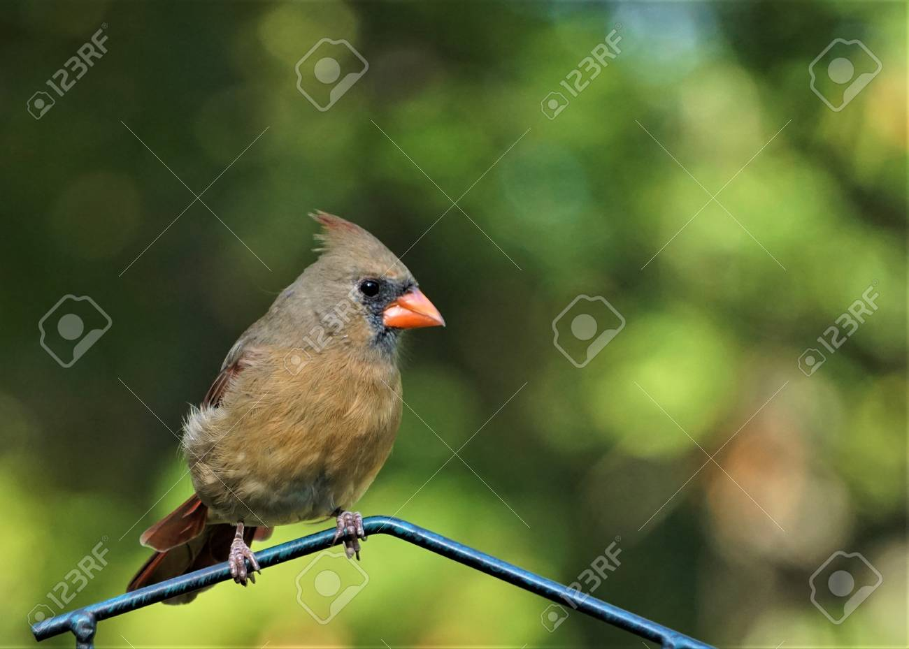 A Single Female Cardinal Bird Is Perching On The Bird Feeder Stand In The  Morning On