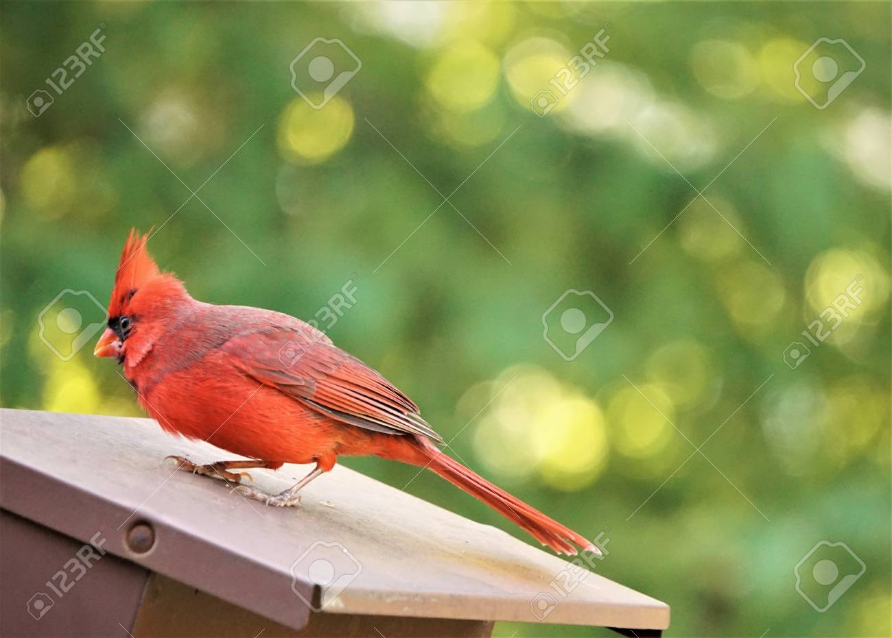 A Male Cardinal Bird Is On The Roof Of Bird Feeder Enjoys Watching On The  Blurry