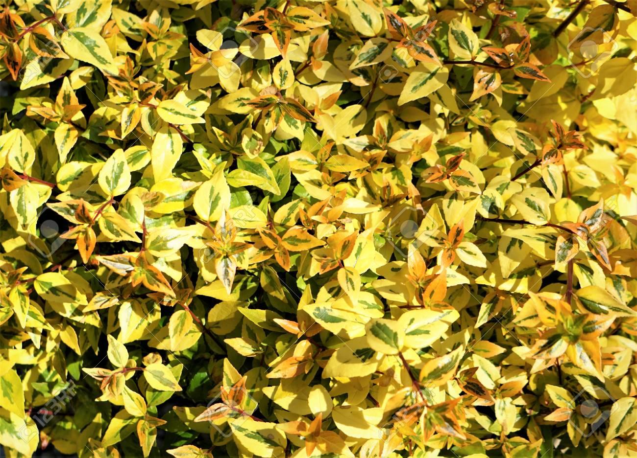 Kaleidoscope Abelia Leaves On The Sunny Day Background Texture