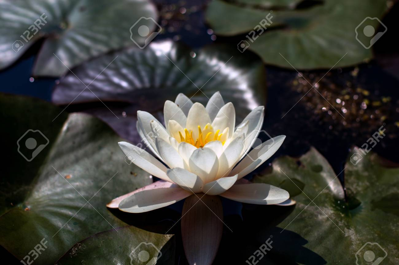Lotus Flower Close Up Photo Water Lilly Flower Isolated Macro
