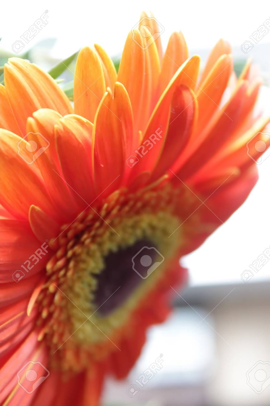 Gerbera red flower large stamens yellow color petals stock photo gerbera red flower large stamens yellow color petals stock photo 99837269 mightylinksfo