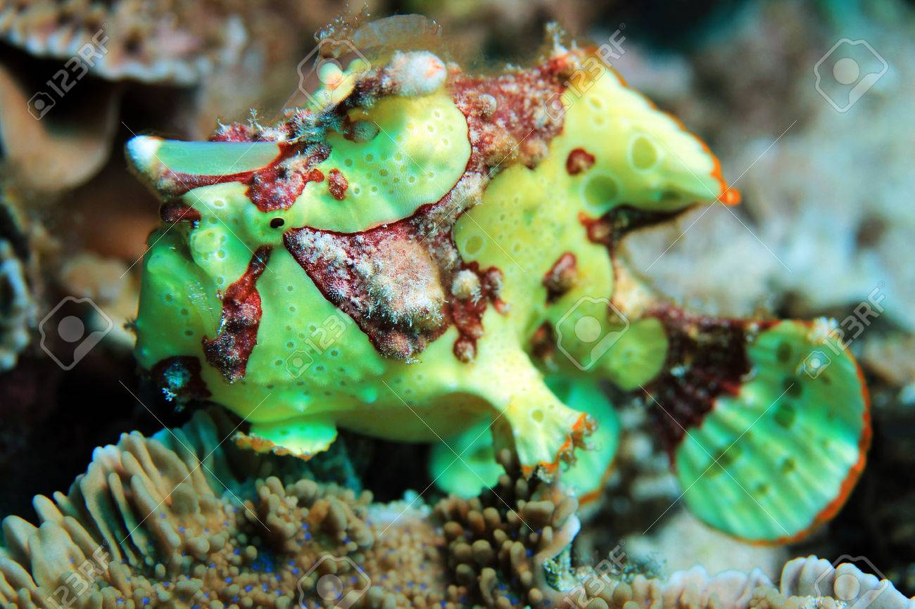 Warty Frogfish | Clown Frogfish Antennarius Maculatus Aka Warty Frogfish Flores