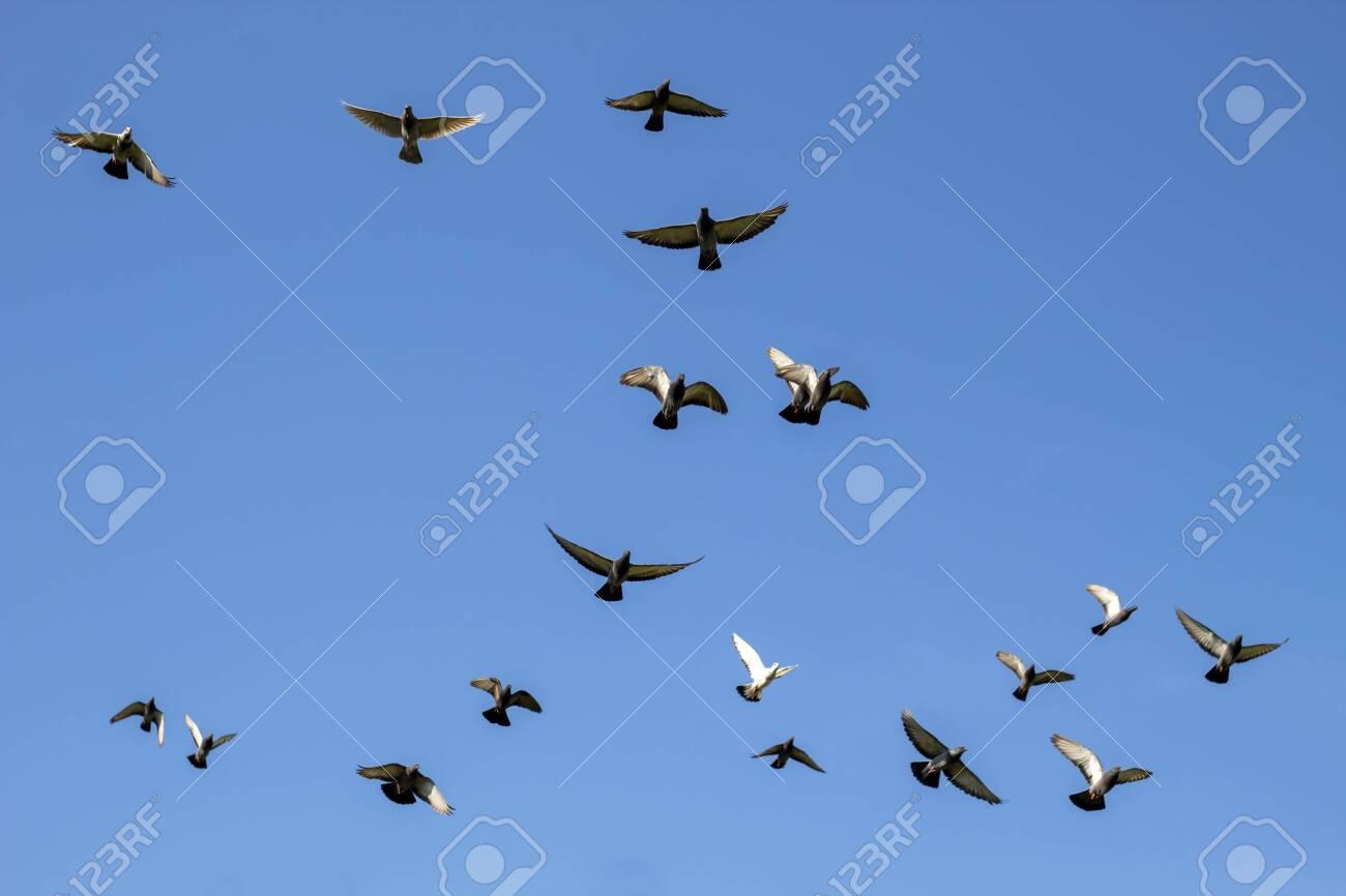 flock of flying speed racing pigeon , group of flying pigeon against beautiful sky - 134065048