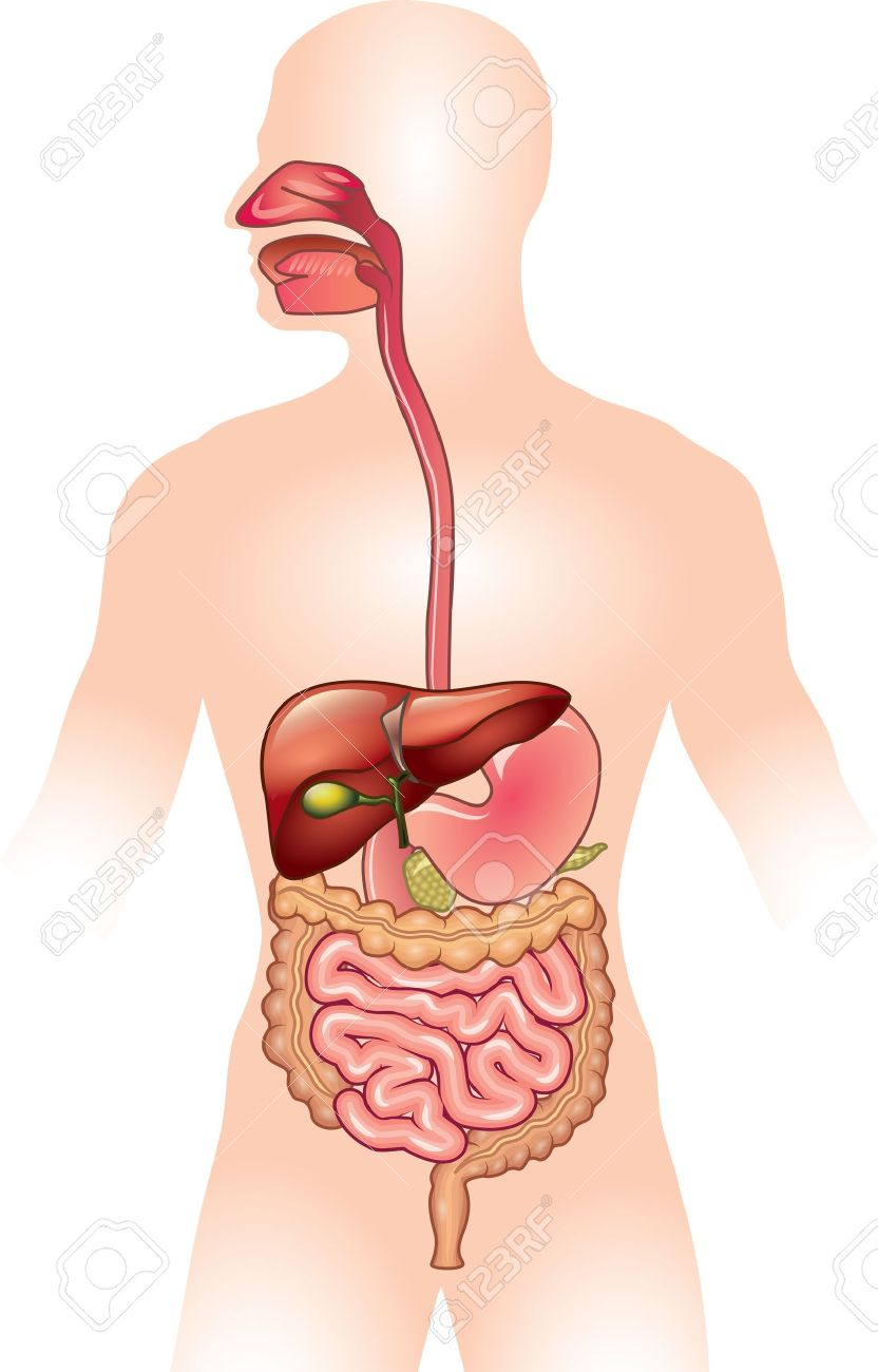 Human digestive system detailed colorful illustration royalty free human digestive system detailed colorful illustration stock vector 22075664 ccuart Choice Image