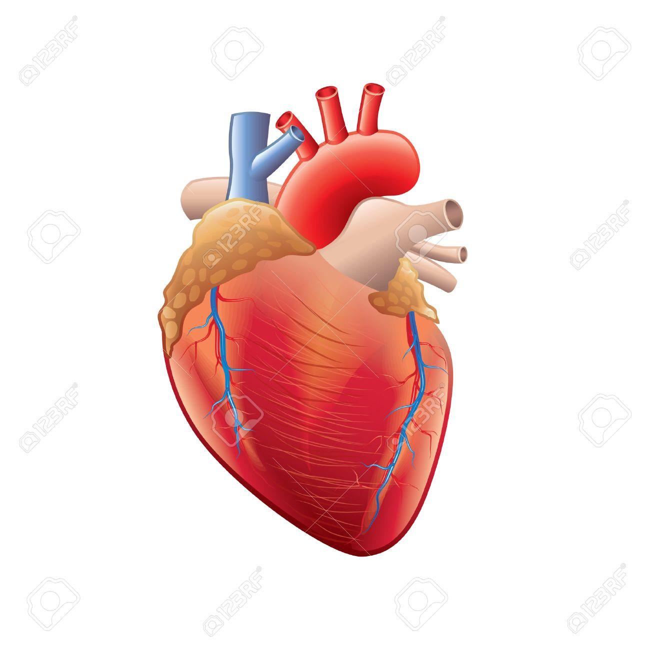 Anatomía Del Corazón Humano Aislado En Blanco Fotorrealista ...