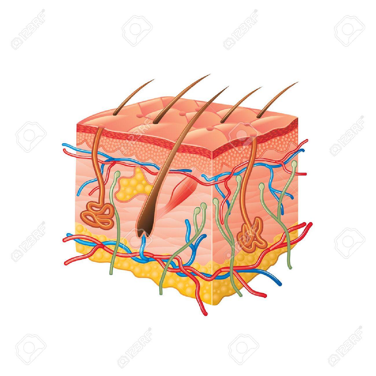 Human Skin Anatomy Isolated On White Photo-realistic Vector ...
