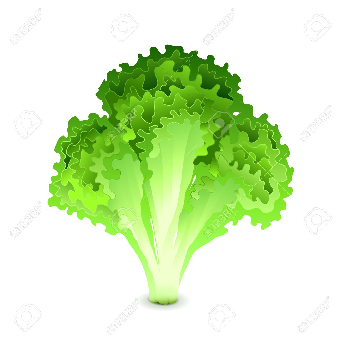 green salad leaves vector illustration royalty free cliparts, vectors, and  stock illustration. image 73427978.  123rf