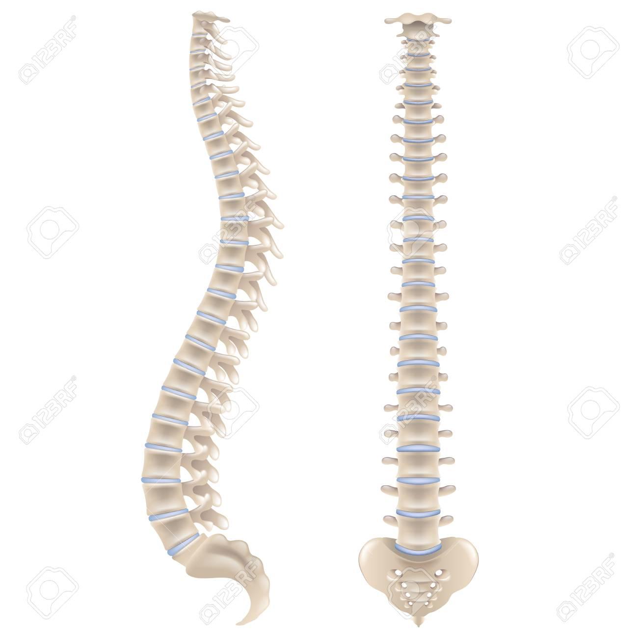 Spine bones isolated on white photo-realistic vector illustration - 103320756