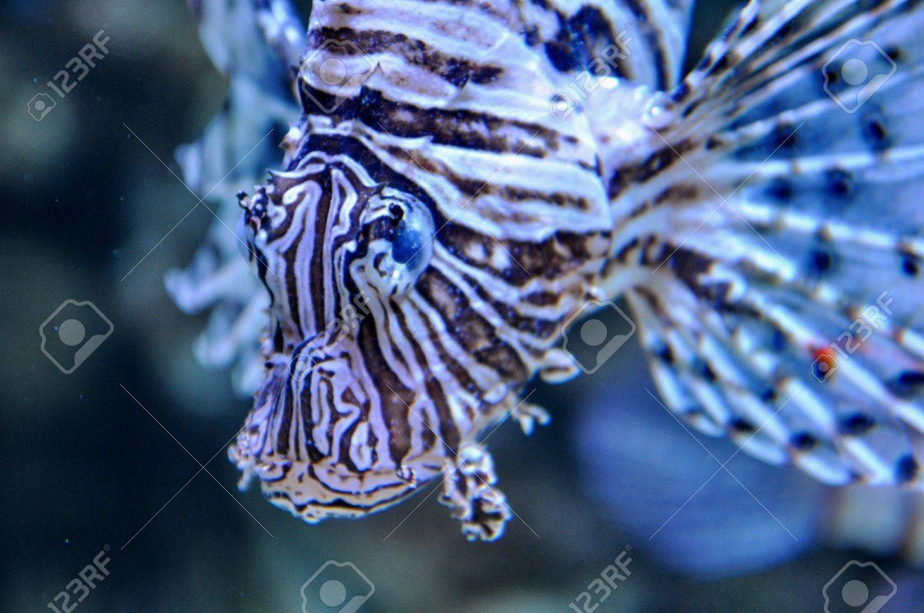 Lion fish in the water Stock Photo - 17768582