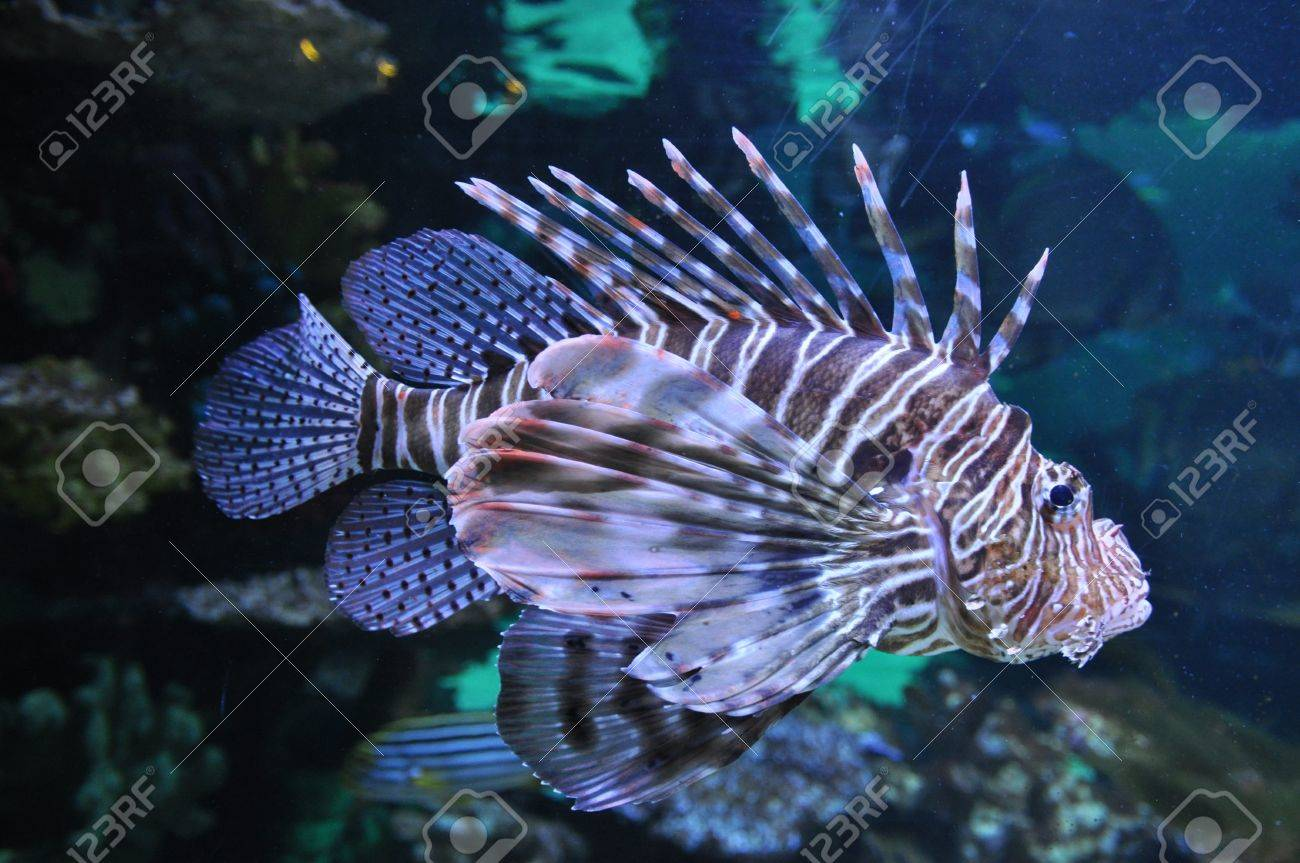 Lion fish in the water Stock Photo - 17817746