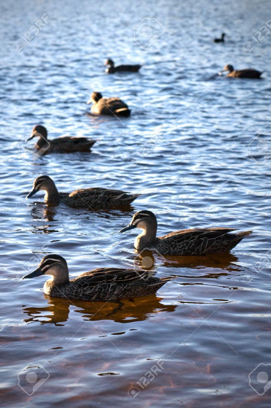Ducks Stock Photo - 9003422