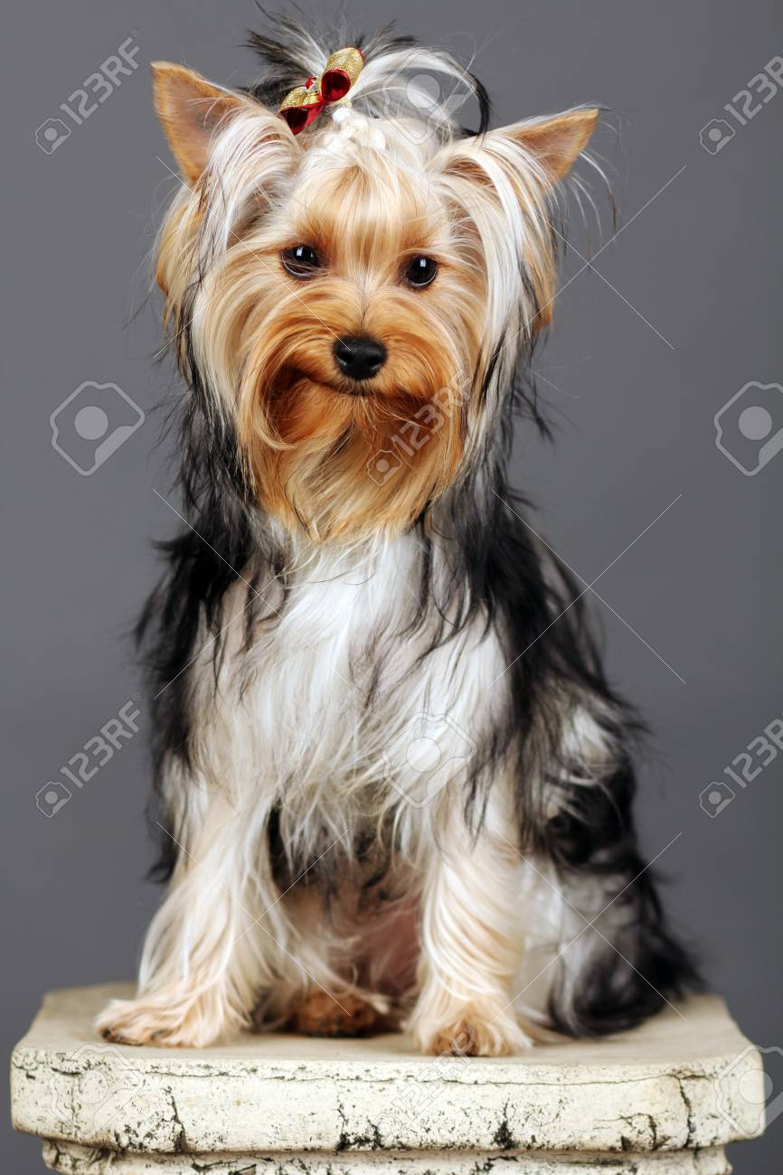 Yorkshire Terrier isolated on grey Stock Photo - 9534051