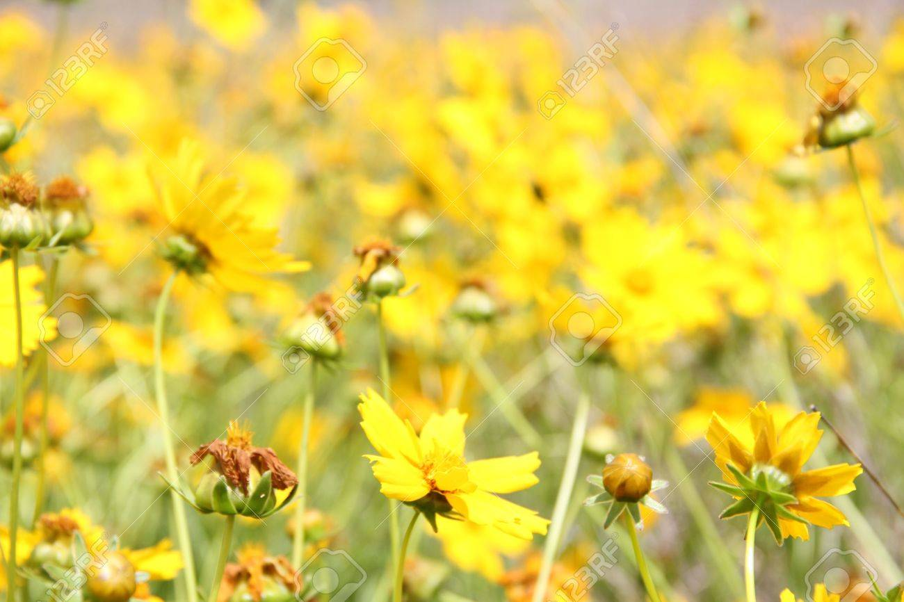 Australia Yellow Flower Weed In Paddock Rural Area Stock Photo