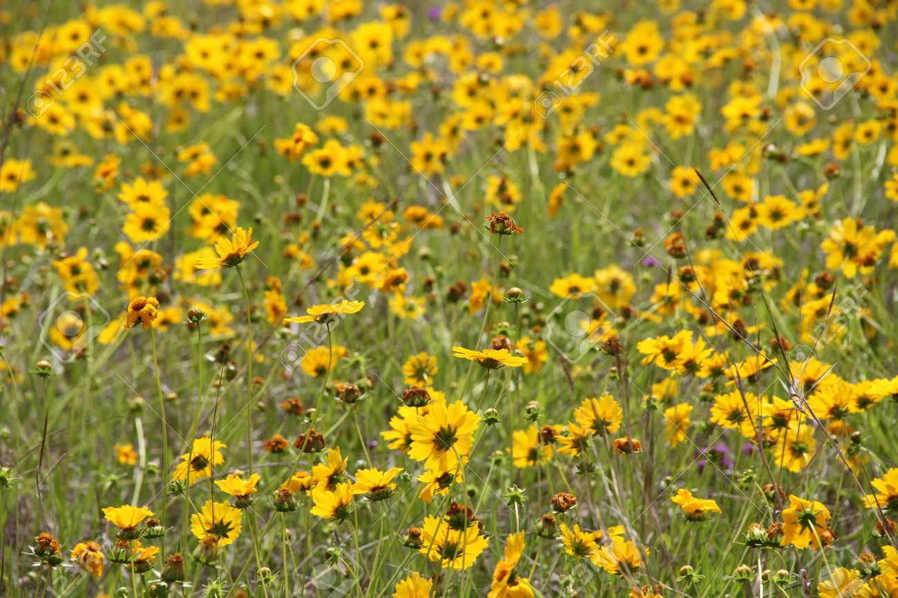 Australia Yellow Flower Weed In Paddock Rural Area Stock Photo