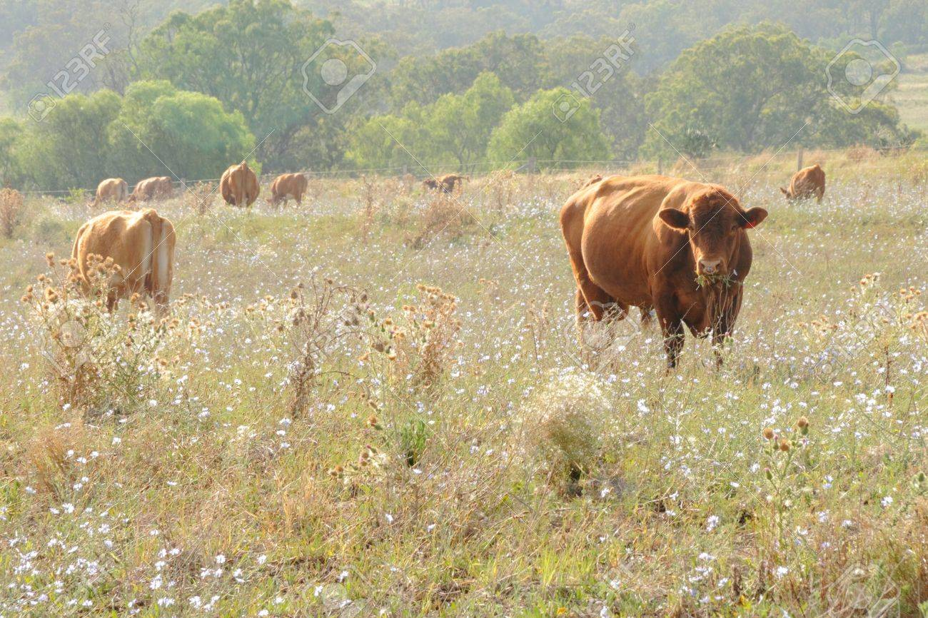 wagyu cow  in rustic thistle flower feild setting australia Stock Photo - 16897990