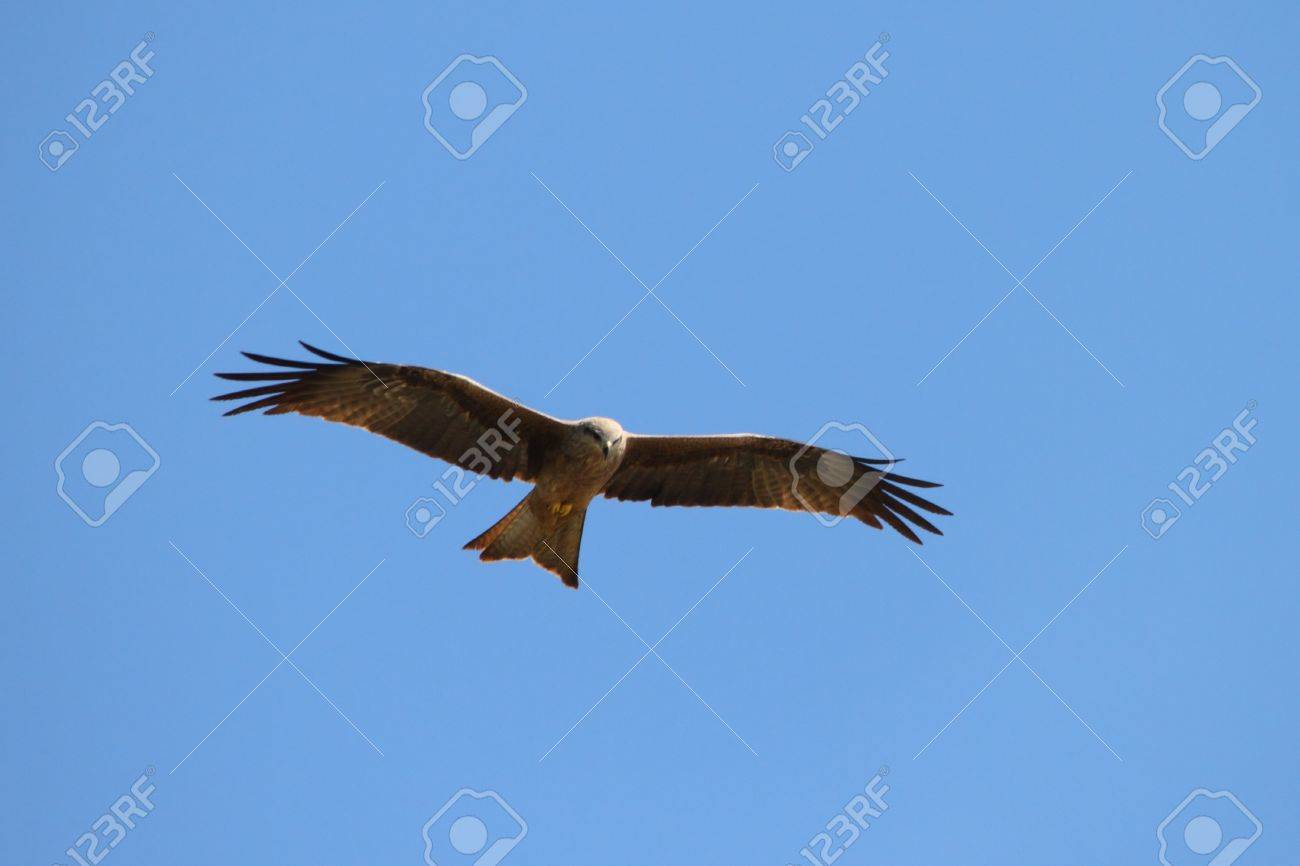 Whistling Kite In Far North Queensland Looking For Prey Stock Photo Picture And Royalty Free Image Image 21852780