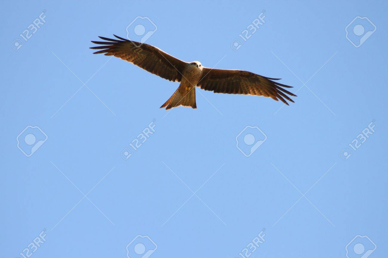 Whistling Kite In Far North Queensland Looking For Prey Stock Photo Picture And Royalty Free Image Image 21852786