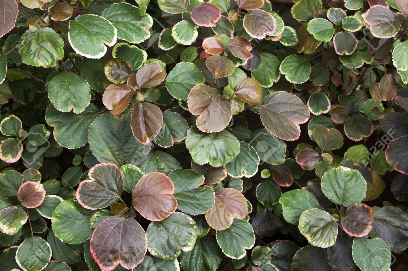 Top View Of Acalypha Wilkesiana In The Botanical Garden Stock Photo