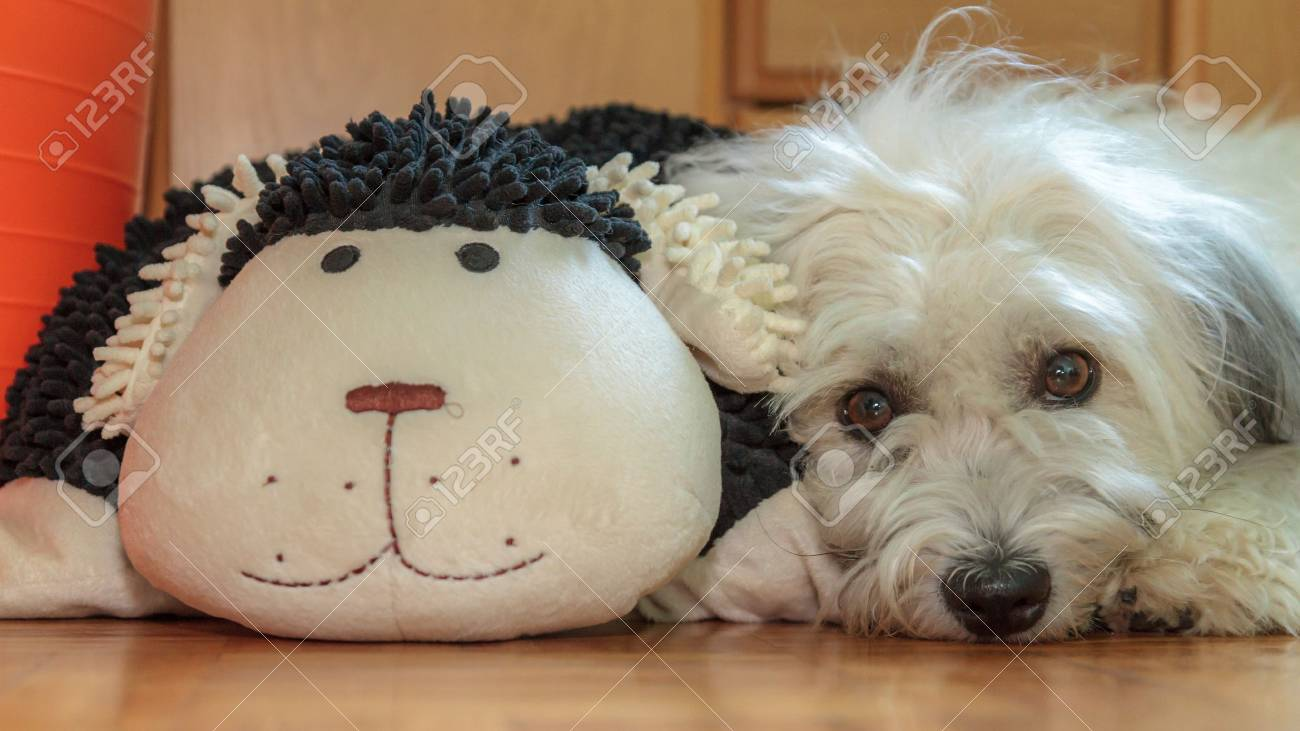 Picture Of A Cute Coton De Tulear Dog With His Pet Stock Photo