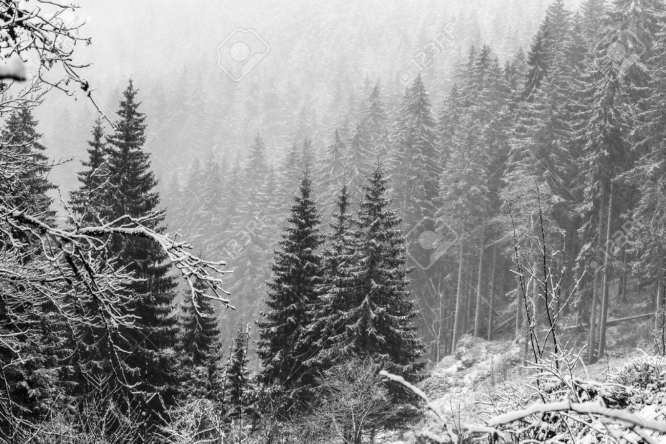 Winter forest german black forest black and white picture