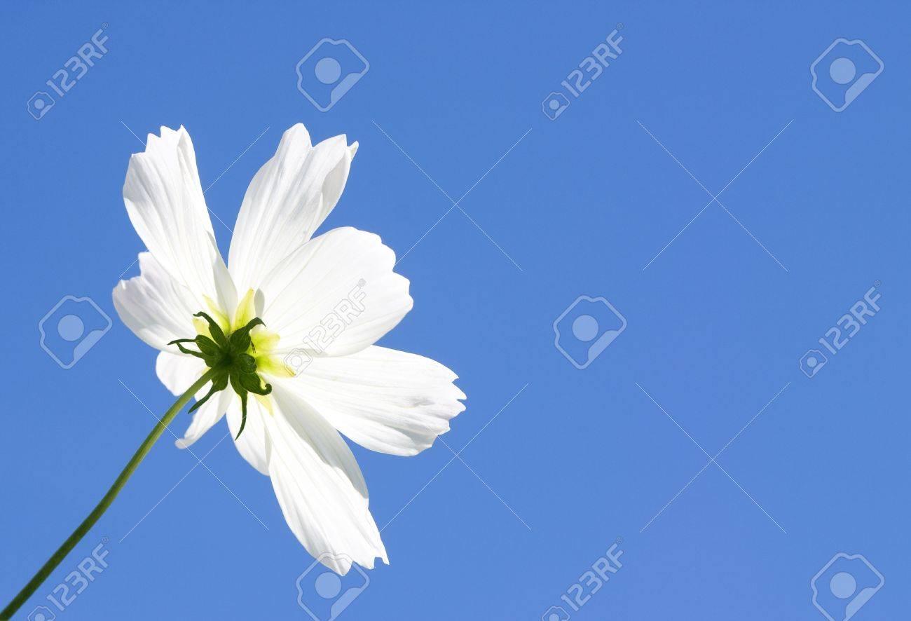 Single white flower and vivid blue sky for backgrounds stock photo single white flower and vivid blue sky for backgrounds stock photo 17618955 mightylinksfo