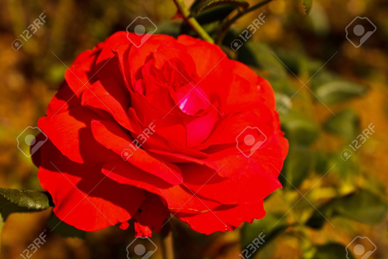 Red rose Stock Photo - 12327443