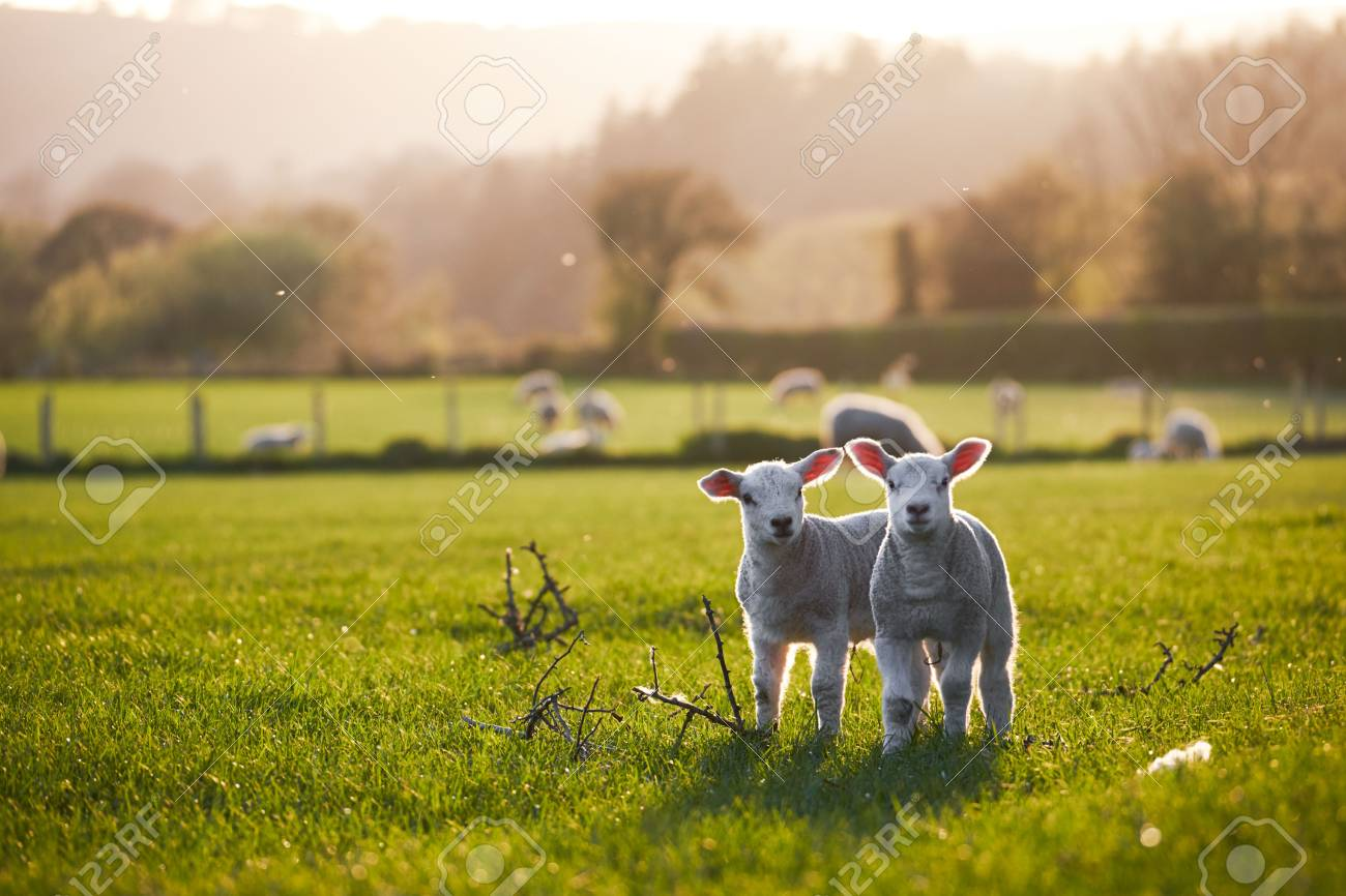 Welsh lambs, sunshine, in the Brecon Beacons National Park - 83863224