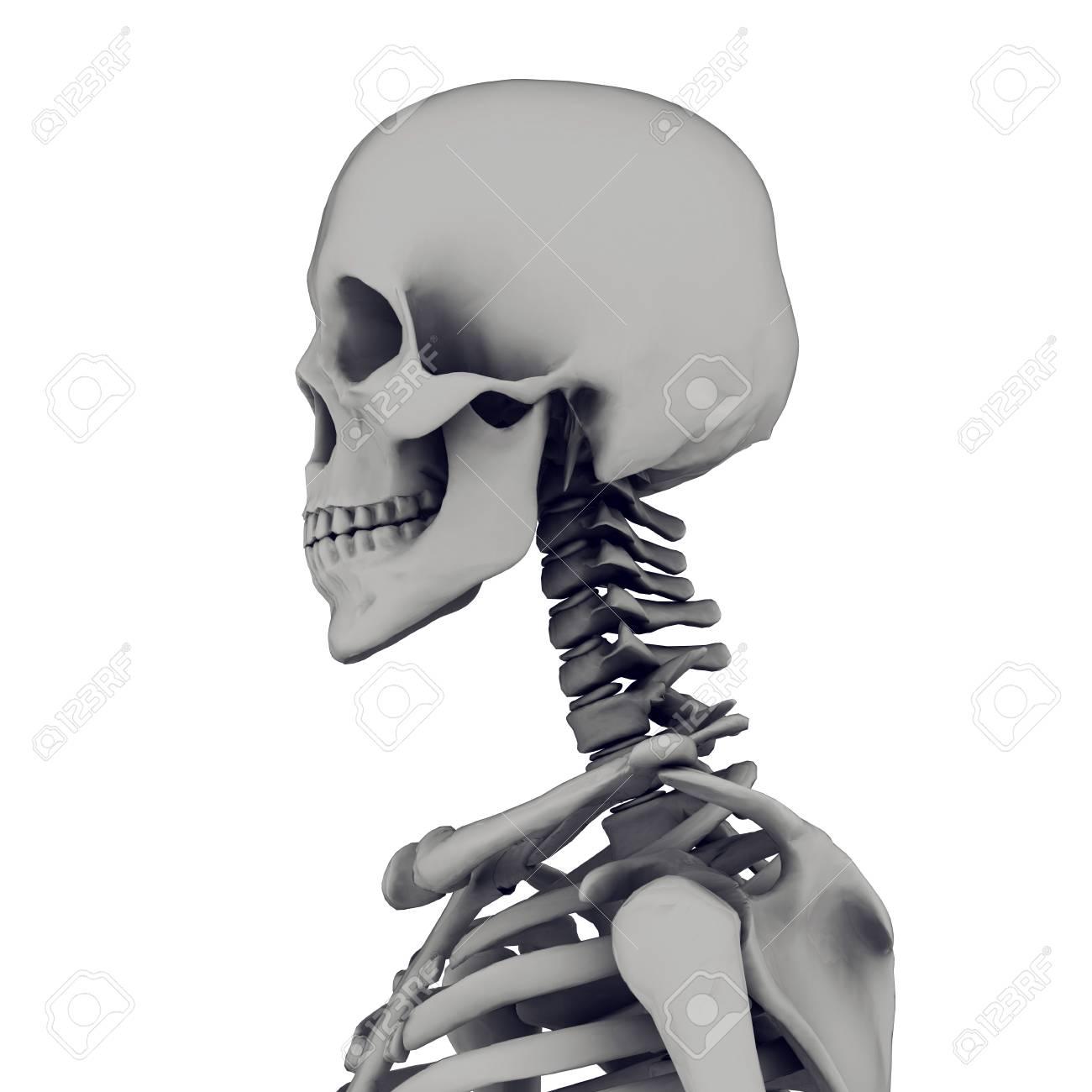 skeleton isolated on white background Stock Photo - 17017688