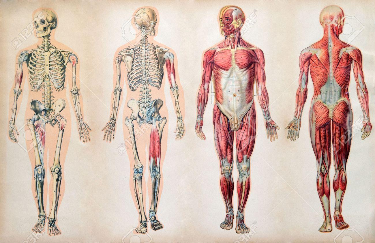 Diagramas De Anatomía Old Vintage Del Cuerpo Humano Que Muestra El ...