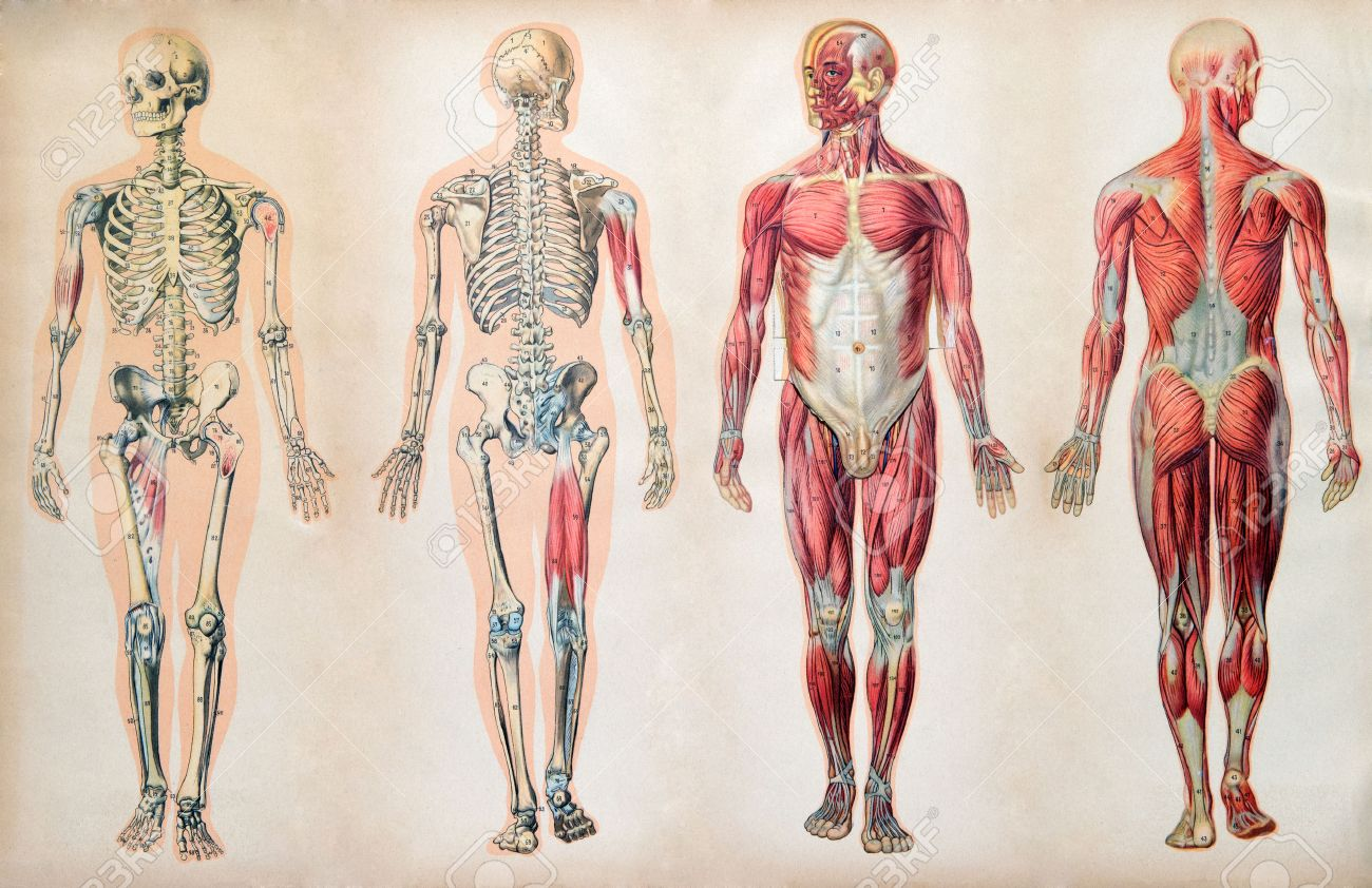Anatomy Stock Photos Royalty Free Anatomy Images