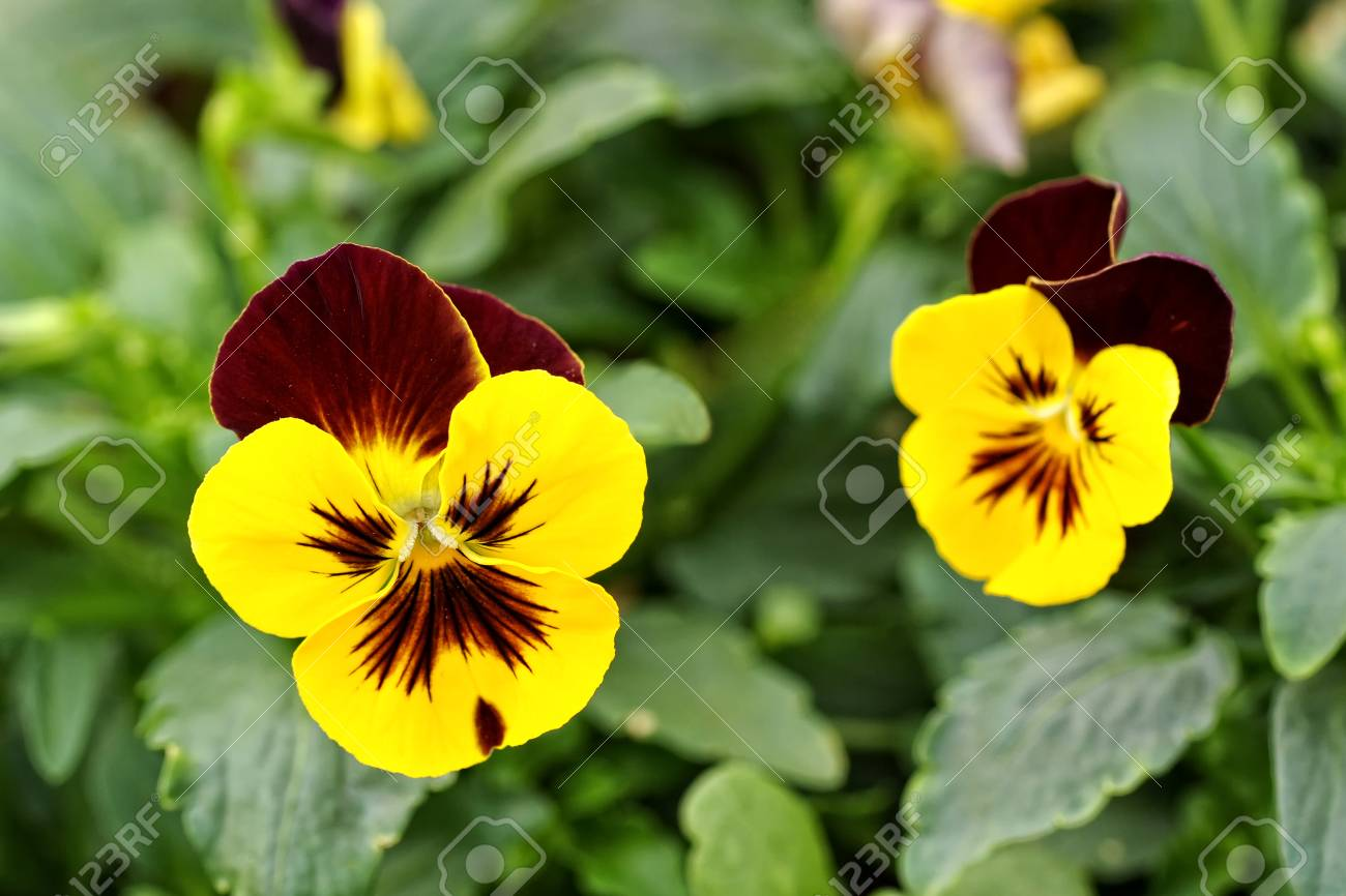 Close Up Of The Flowers On A Pretty Bicolor Yellow And Purple