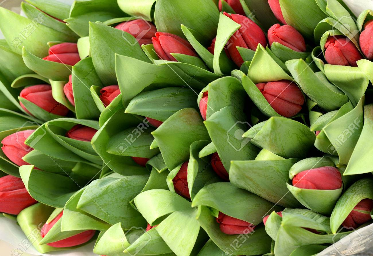 Background Close Up View Of A Large Bunch Of Red Tulip Buds In Their