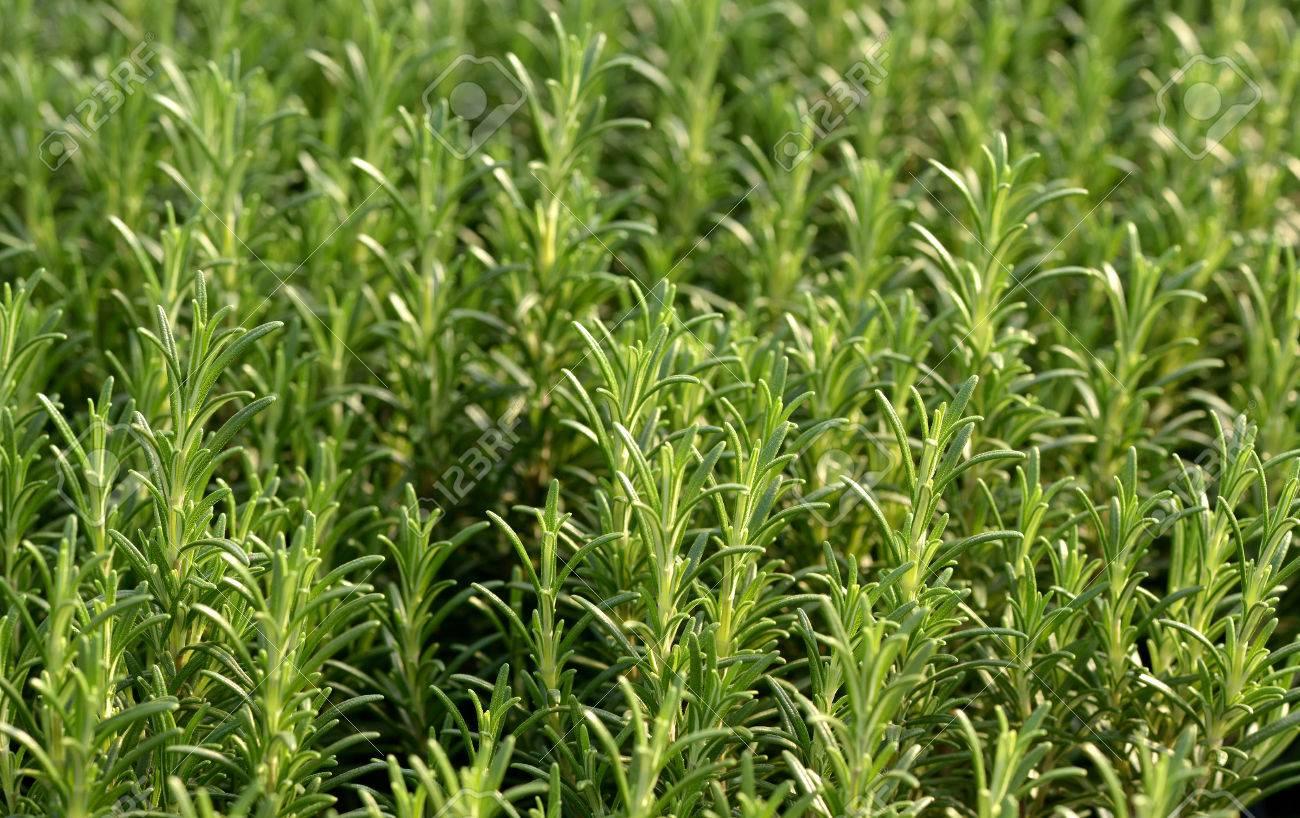 Frischer Rosmarin Pflanzen Wachsen In Einem Garten Oder Kindergarten