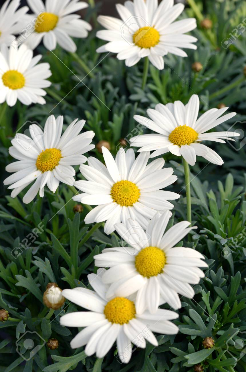 Close Up Of Wild White Daisy Flowers With Yellow Centers Blooming