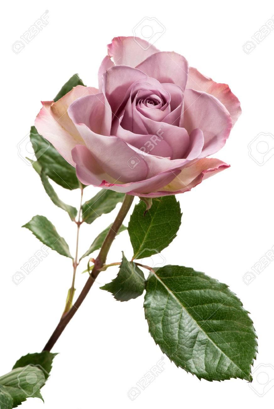 Simple Couleur Lavande Rose Avec Des Feuilles Vertes Isole Sur Fond