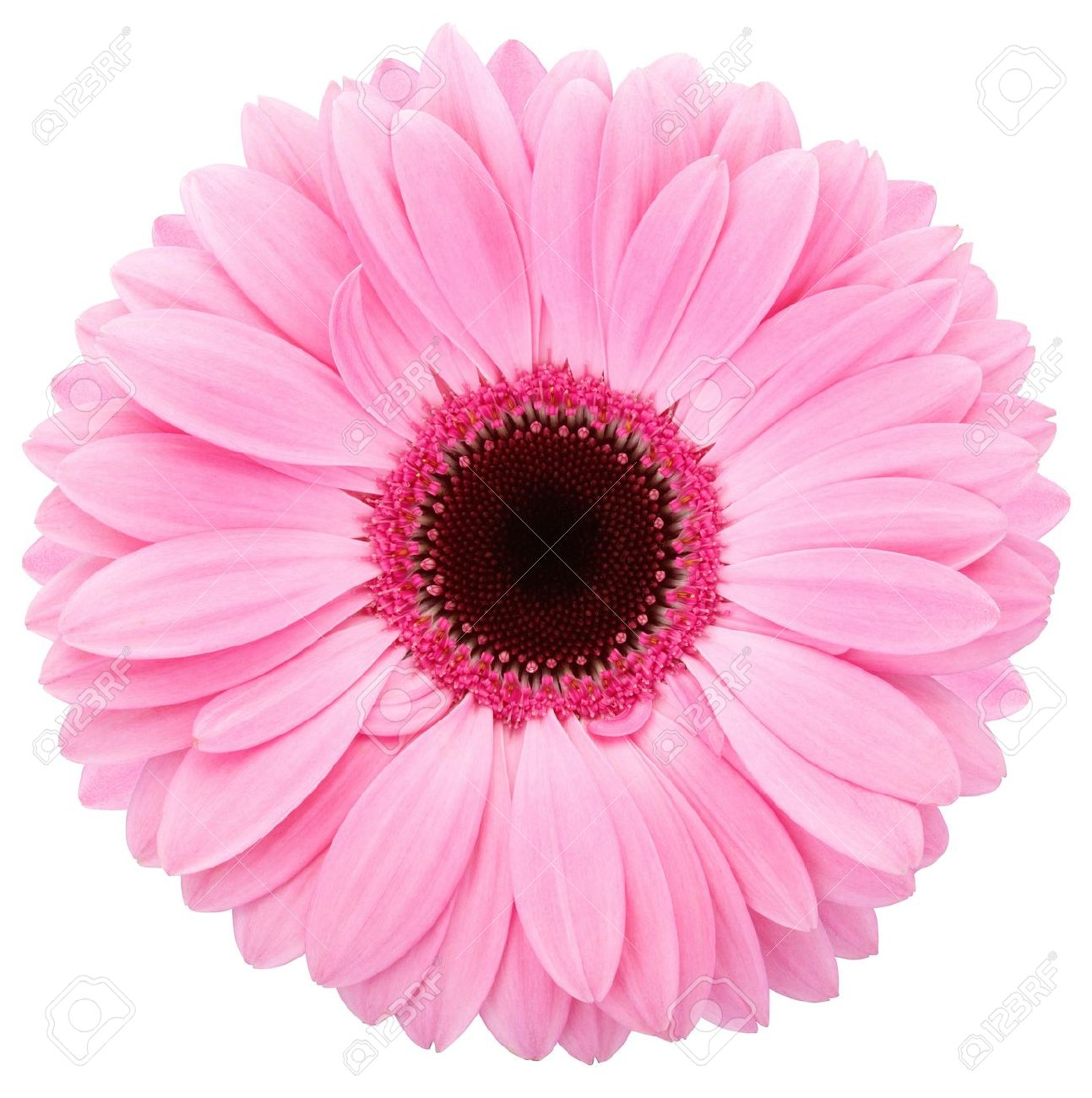 Pink Flower Stock Photos Royalty Free Pink Flower Images