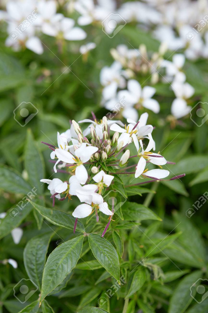 Cleome White Spider Flower And Leaves Stock Photo Picture And