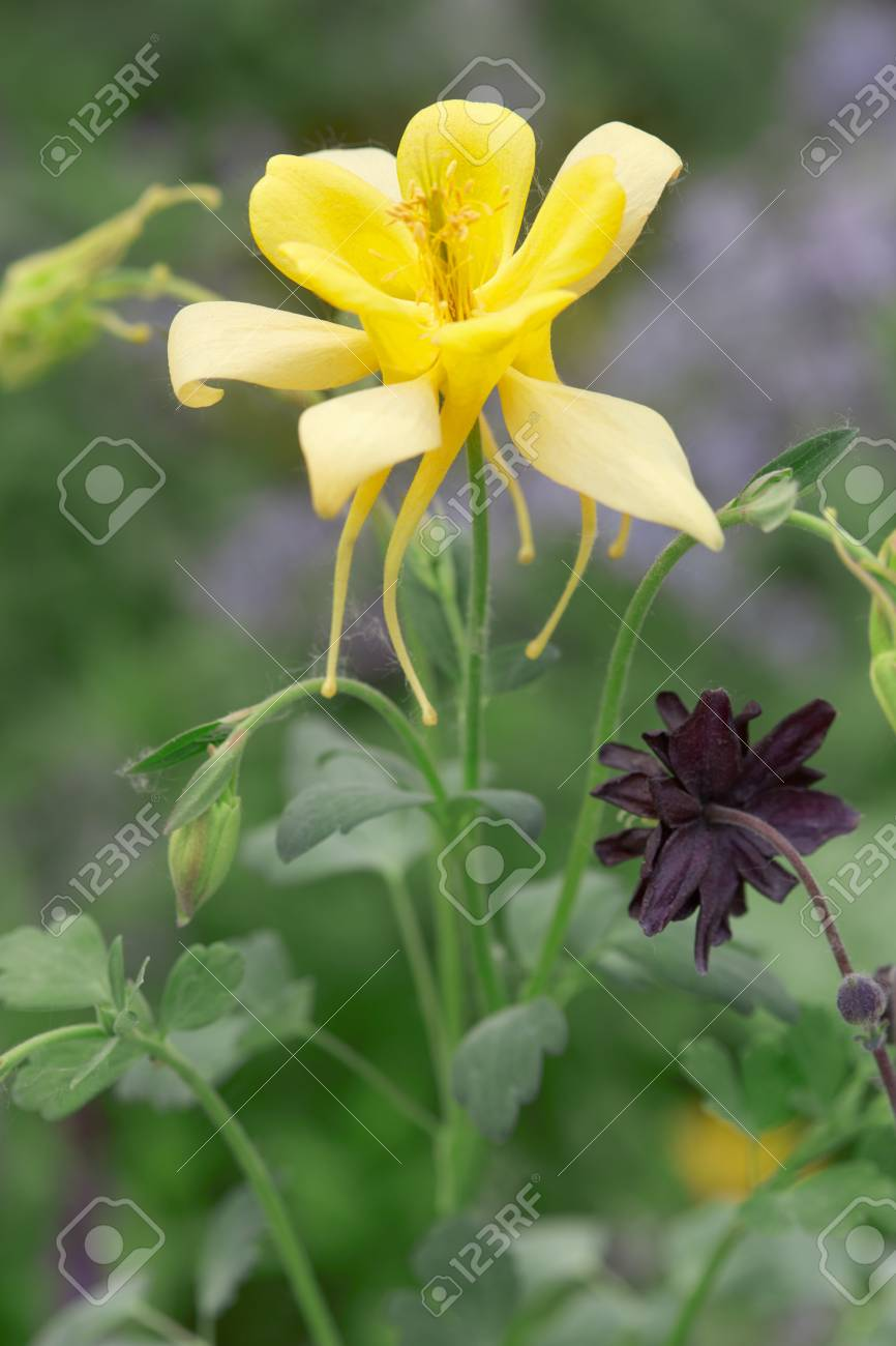 Aquilegia Yellow Flower And Stem With Leaves Aquilegia Chrysantha