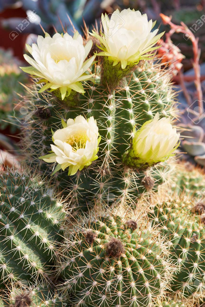 Succulent Spiny Cactus With Yellow Flowers Stock Photo Picture And