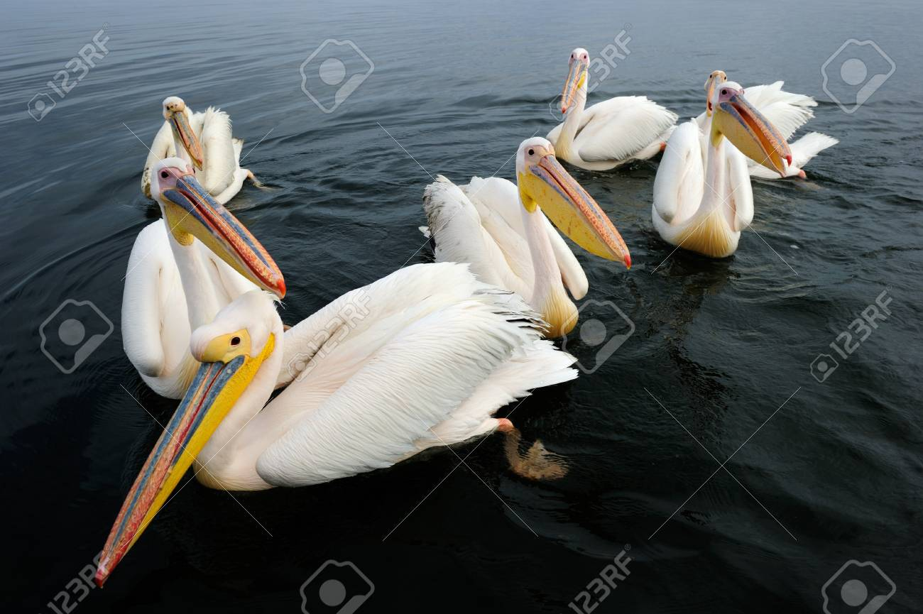 Group of Great White Pelicans in water Stock Photo - 13863295