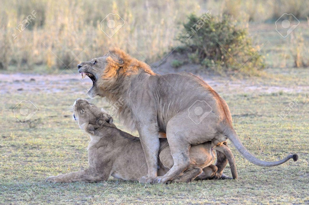 Female cat behavior after mating