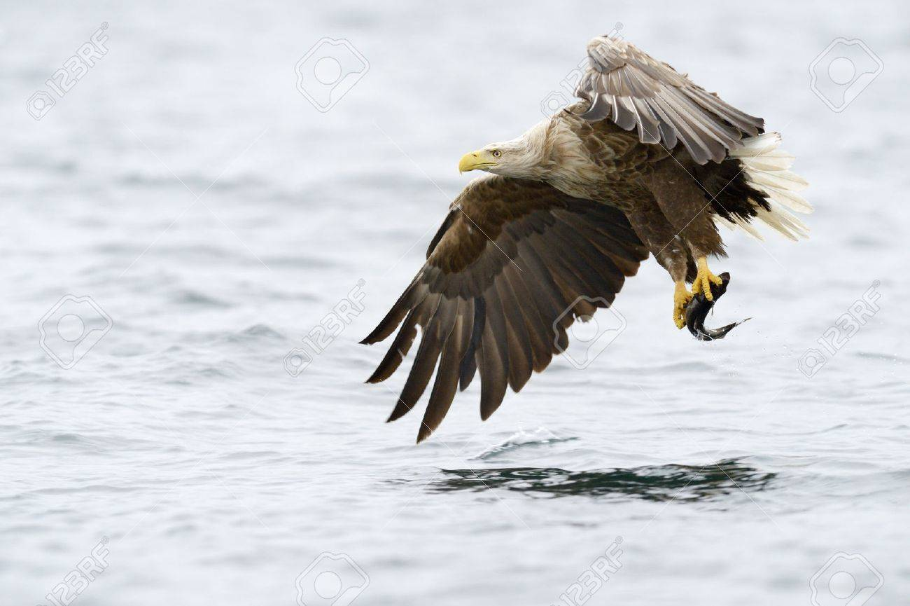 White-tailed Eagle catching fish. - 29495272