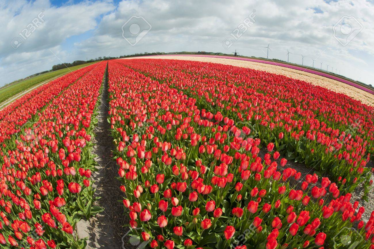 Fish Eye View Of A Tulip Field With Different Colors And Cloudy ...